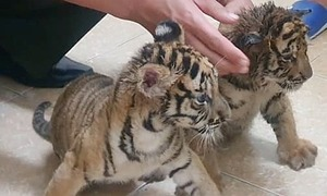 Ha Tinh police rescue two tiger cubs from traffickers
