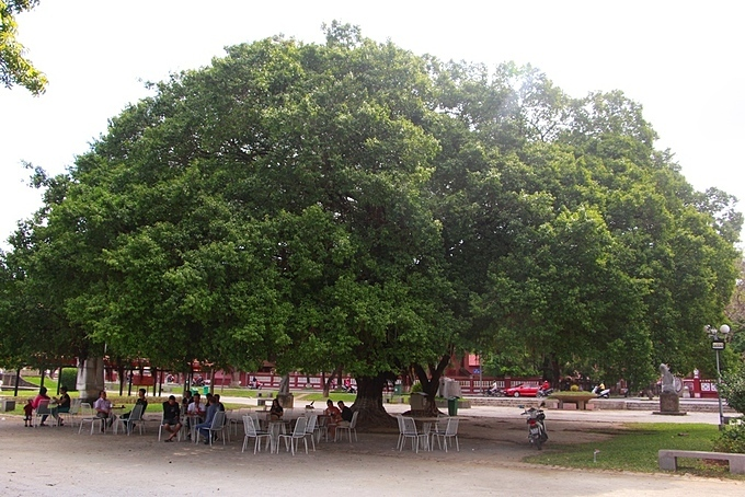 Trees over 100 years old in Ly Tu Trong Park have a canopy of about 100 square meters, offering a hideout for many people and tourists to drink coffee and watch the Perfume River.