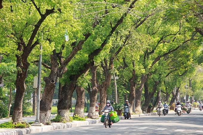Camphor trees have been planted on Le Loi Street since the French colonial rule.