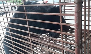 Ha Tinh police save moon bear from traffickers