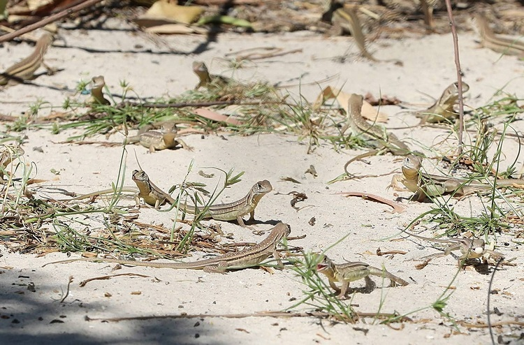 Up to two hectares of land of 50 farms are dedicated to farming these reptiles in Hoa Thuy hamlet. When the weather is sunny and warm, the lizards crawl from their underground caves up to the ground for sunbathing while the hatchlings shed their skins.