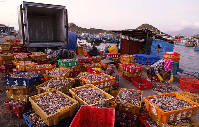 In the evening, when the market gradually closes down, some seafood famers with their vehicles come to the market to buy the smaller shrimps and crabs and crumbed seafood as food for lobster.Therefore, fishermen in the area always has a stable outsource.