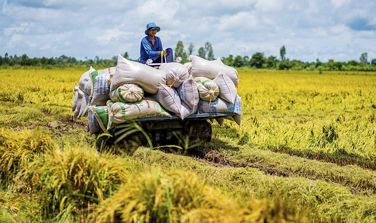 A farmer transports freshly-harvested paddy in bags at a field in An Giang Province in Vietnams Mekong Delta region, June 2019. Photo by VnExpress/Huynh Van Thai.