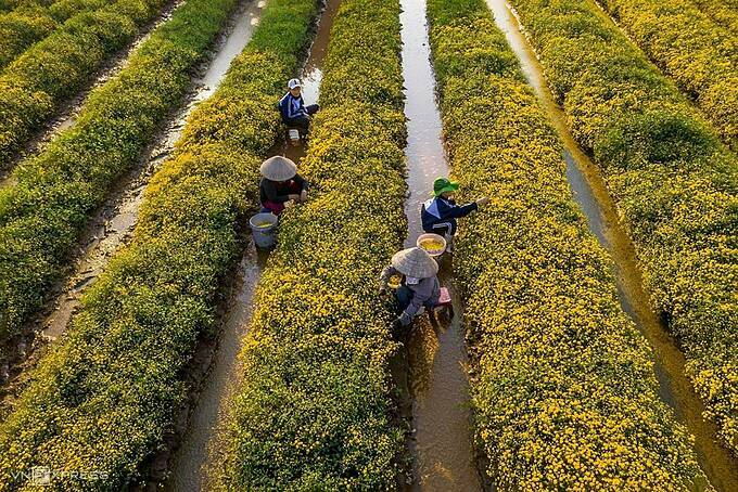 Some workers harvest the blossomed flowers. During the flower season, some families hire dozens of pickers at the same time to obtain quality products.Photographer Pham Ngoc Thach from Hanoi who captures the moments quoted the farmers saying that the chrysanthemum season lasts about 20 days, which usually falls around New Years Day.