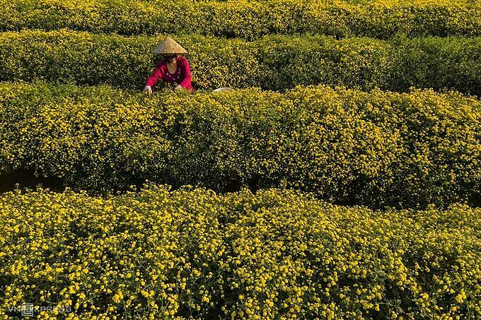 The harvest season is when the chrysanthemum fields become bustling with many harvesters congregating. This is their favorite job, and also generates income, photographer Thach added.One person can harvest 20-30 kilograms of flowers a day. Fresh chrysanthemum sold on the spot costs about VND50,000 per kilogram ($2.2).
