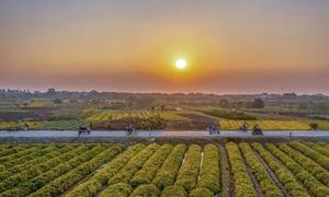 Bent on fragrance, Vietnam farmers hustle in chrysanthemum pageant