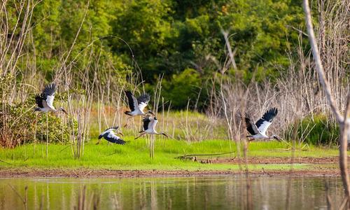 Low Mekong Delta water levels shrink habitat of rare storks
