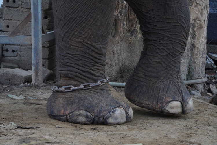 Legs of an elephant chained in the tourism cooperative  in Yang Tao commune. Photo by VnExpress/Tran Hoa