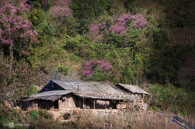 Peach trees shine brightly under warm spring sunshine by a bungalow of the Mong ethnic minority people in Trong Tong Village in La Pan Tan Commune.Mu Cang Chai is around seven hours drive to the northwest of Hanoi. It sits at 1,000 meters (3,300 feet) above sea level at the foot of the Hoang Lien Son mountain range.The H'Mong ethnic minority group started carving rice terraces into the mountain range centuries ago and continue to plant and harvest the crop today.