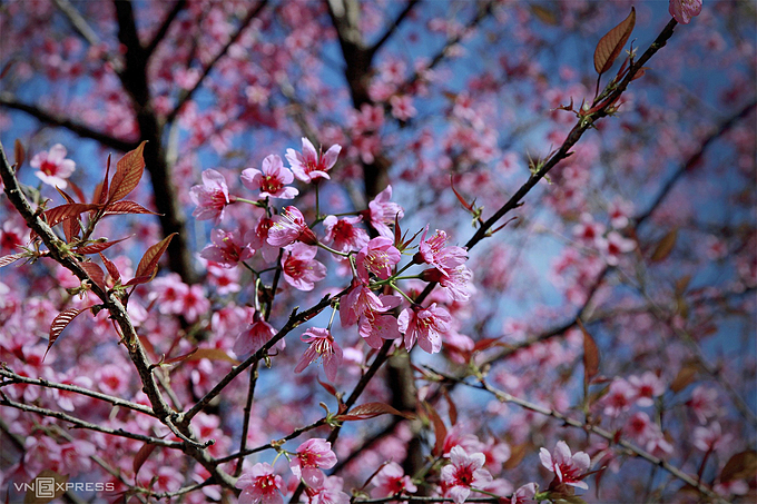 Peach blossoms have five pink petals with long red pistils, blooming in clusters from the New Year until the Lunar New Year, or Tet, considered the biggest and most important festival of Vietnamese people. Peach blossoms are mainly planted at poor-hit La Pan Tan commune.