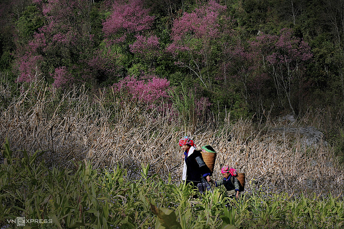 A HMong mother and her child walk amidst the peach trees forest. Le Trung Kien, a local teacher in Mu Cang Chai and also the photo collection's author, said the H'Mong people didn't know since when peace trees appear but one thing that can make sure when the peace blossoms bloom, it heralds the approaching of spring.
