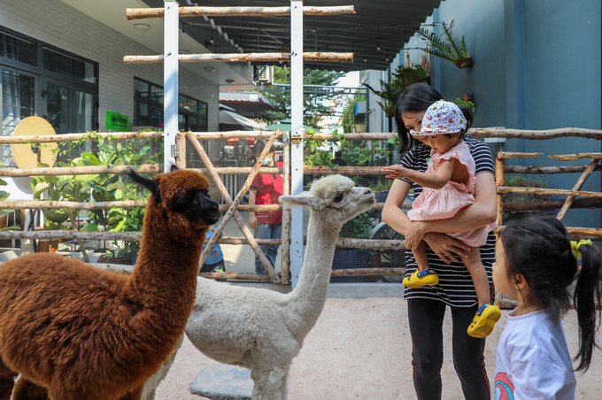 The male (gold) and female (white) alpacas are raised in a stable of about 30 meter-square with a sandy ground and are fed with vegetables three times per day.They were a little shy at first, but now they really enjoy interacting with humans.