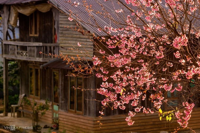 Peach tree blooms near a wooden house of the Cil ethnic minority people in the Central Highlands province of Lam Dong.