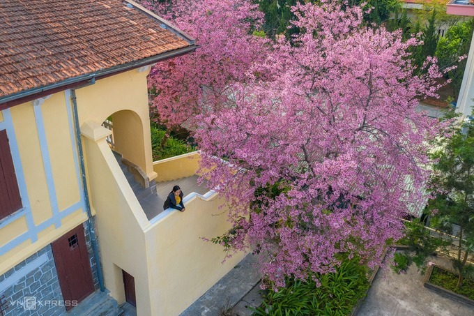 Grove of Peach blossoms cast dreamy pink spell to Da Lat - 1