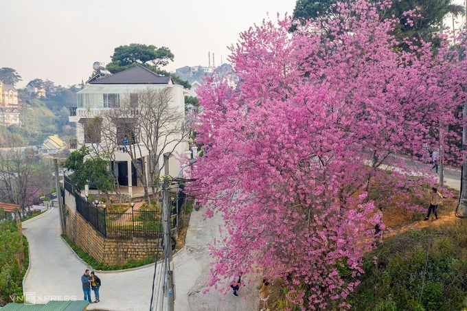 Visitors flock to Dong Da Street to check out peach trees in full bloom