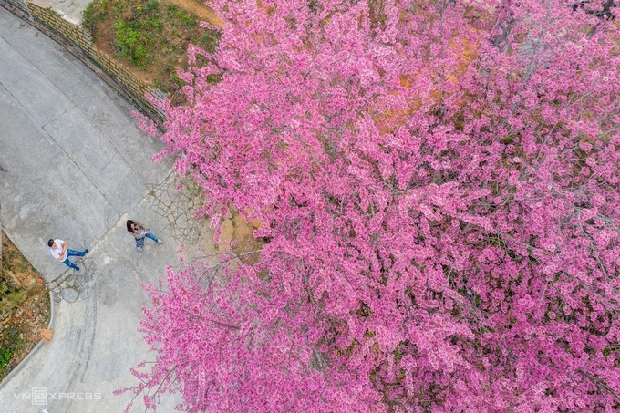Tran Quang Anh, a local resident, said that the cherry blossoms are blooming tomorrow, pink appears on Hung Vuong, Dong Da, Ho Tung Mau, Tran Hung Dao, Tran Quang Dieu, Tran Quy Cap, Le Dai Hanh or Dinh Tien Hoang.