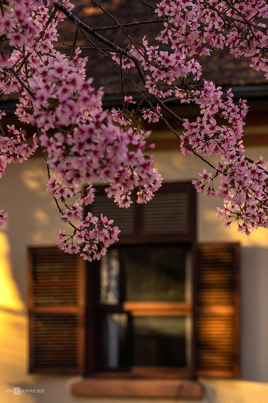 In addition to growing in front of their houses facing the streets, many locals plant peach trees in the corner, around the sidewalks or the fence of the villas to add more charms to Da Lat.