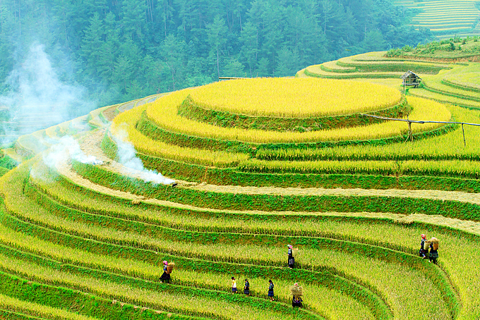 Locals harvest rice on terraced fields in Mu Cang Chai. Photo by Shutterstock/Anh Huy.