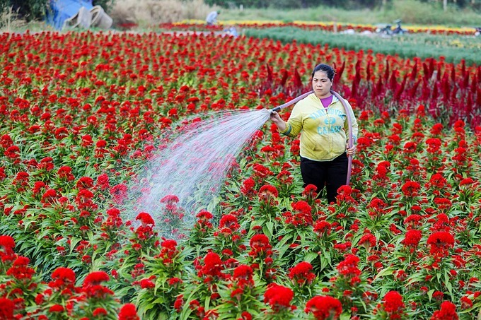 Truong Lam in District 9, a part-time worker, waters a field of crested chicken flowers. Vietnamese people have a long tradition of decorating pots of crested chicken flowers in red color,a symbol of luck and prosperity, in front of their homes.  Three months before Tet, garden owners started hiring part-time workers to take care of their flower plants. Everyday, Im in charge of watering, fertilizing and pruning leaves, she said.