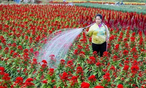 On Saigon outskirts, Tet ushers in a bloom boom