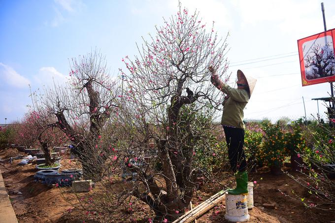 A gardener inspects a peach blossom tree.
