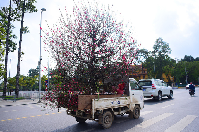 A peach blossom tree is transported on a pickup van.