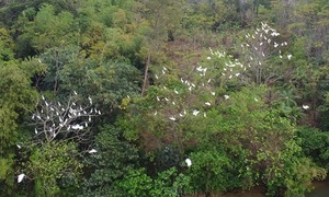 Storks flock to river island in Hue