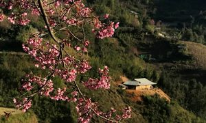 Peach blossoms increase remote district appeal