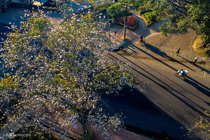 Bauhinia flowers symbolise sincerity, faithfulness and constancy in love. The charming beauty of the flower make Da Lat more dreamy and romantic for photographers and couples.