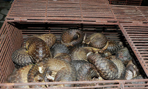 12 jailed for trafficking endangered pangolins