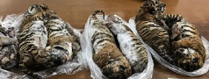 Seven tiger carcasses that police found in a car inside a parking garage in Hanoi, July 23, 2019. Photo courtesy of Hanoi police.