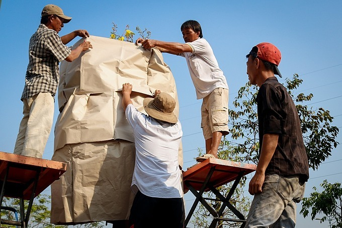 Workers use paper and nylon to wrap pots of apricot trees before moving them to Hanoi. This kind of large apricot trees costs from VND80 million ($3,452)to VND500 million ($21,579).