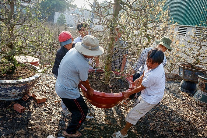 Six workers carry a large pot of apricot treeto deliver it to customers.According to the workers, the large apricot trees thereare around 20 years old. To transporting them, it requires many strong workers.