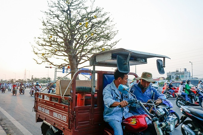 Drivers transport an apricot tree on a tricyle to a private firm in District 3 who hired it for Tet decoration at VND40 million.According to apricot garden owners, in addition to buying apricot pots for home decoration during Tet, the trend of renting apricot treesis becoming more and more popular because rents are much lower than buying prices. And the renters do not have to worry about caring for apricot trees after Tet. One apricot tree costs up to VND500 millionbut whenrenting it will range from VND80 to VND100 million.