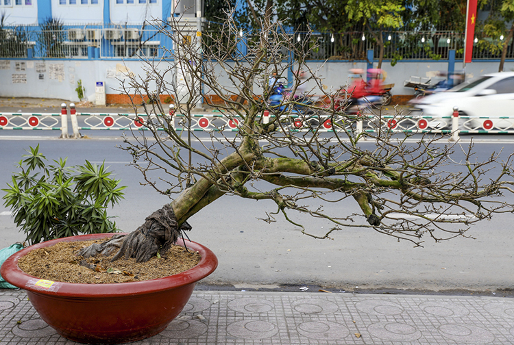 This 50-year-old ochna can be rented for VND40 million, including the decoration service. Normally people hang red ornaments, expressing their wishes for good fortune. Vietnamese people will break for a week this Tet holiday, starting next Thursday.