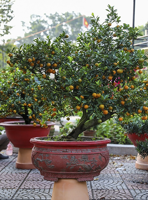 At 15 years old, the orange bonsai tree can be rented for VND30 million. People believe that the more fruits that a tree bears, the greater the luck and prosperity that will visit the household. A perfect kumquat bonsai tree should have four elements at the same time: flowers, ripe fruit, young fruit and buds.