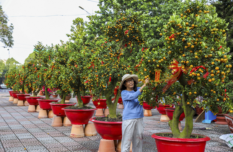 At the Hoang Van Thu Park in Tan Binh District, Nguyen ThiTuoi is leasing out 20 kumquat bonsai trees.Her trees are now all over 30 years old.I am leasing this one at VND50 million, the most expensive one, because it is the most beautiful, she said, while pruning the tree. She said she has already found it a customer.
