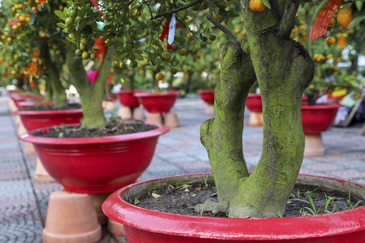 Many gardeners choose to graft their kumquat trees with the roots of the Dien pomelo, a strain of high-quality pomelo native to northern Vietnam, to give the kumquat trees their best look.
