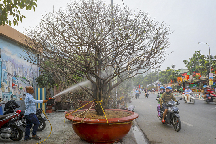 Bonsai trees are gracing sidewalks major streets in Ho Chi Minh City, attracting admiring looks from passersby.Most of the trees are not for sale, only for rent. I've brought around 100 ochna trees here,says Ngo Minh Phong says as he waters a large tree on Thanh Thai Street in District 10. The tree is five meters high, has a canopy of over one meter and is now in its 80s.