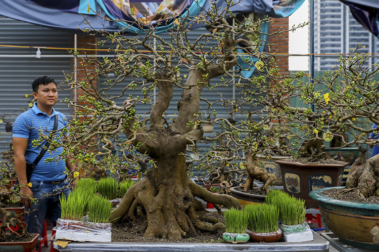 A customer looks at huge bonsai crafted by Dung.This tree is more than 150 years old, he says. This one would cost VND1 billion, but is not for sale. I'm leasing it at VND100 million, says Dung.