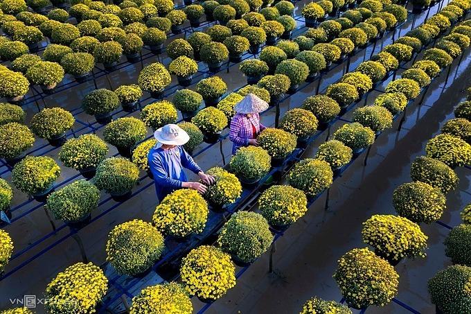 [Caption]Local farmer work on a garden of Chrysanthemum morifolium in Sa Dec flower village in Dong Thap Province. Photo by Nguyen Van Luan.