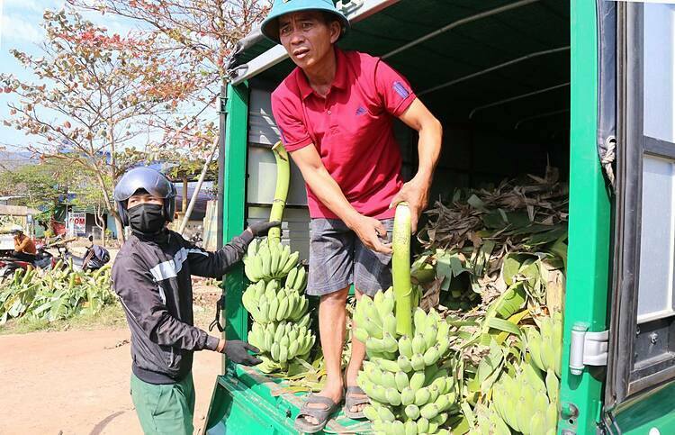Binh, another banana merchant and his friend drives their truck overnight from Da Nang to Tan Long (242 km) to arrive early in the morning to buy bananas. This is the third year since he started trading bananas during Tet.This year, the price of bananas is higher than last year, many large bunches cost up to VND2 million a bunch ($86). I only buy small bananas, easier to sell, Binh said.