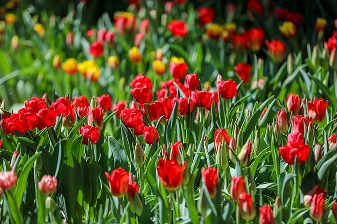A garden of tulip flowers bloom in red color.