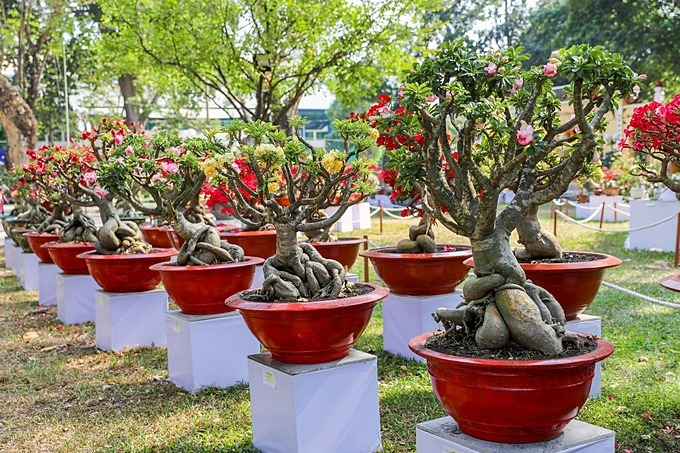 The festival is divided into separate display areas such as ornamental porcelain flowers, yellow Mai, tropical and temperate plants, miniatures, and art stone. Each area has unique ornamental plants brought by many artisans from all over the country.