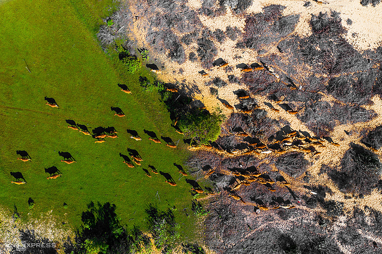 A pack of cow traveling through a green meadow in Phan Thiet city of Binh Thuan Province.