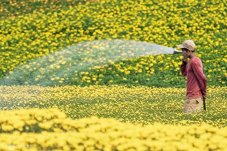 A farmer waters yellow daisies in Thong Nhat District, southern Dong Nai Province. Photo by Cao Ky Nhan.