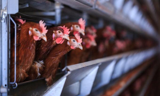Vietnam calls for heightened alert against avian flu outbreaks