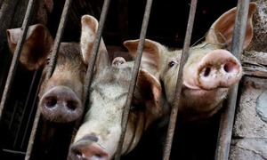 Vietnam seeks US help to develop vaccine against African swine fever