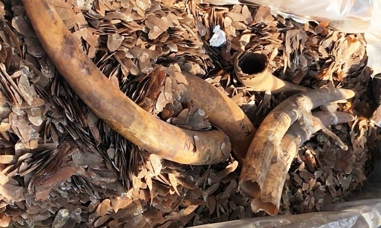 Two tons of elephant tusks and pangolin scales found in three containers shipped from Nigeria to Hai Phong City, northern Vietnam, December 10, 2019. Photo by VnExpress.