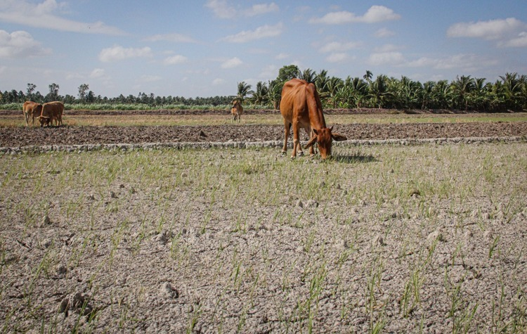 A paddy field is dried up under the heat in Long Duc Commune, Long Phu District, Soc Trang Province. Photo by VnExpress/Cuu Long.